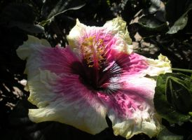 Yellow and pink hibiscus by fosspathei