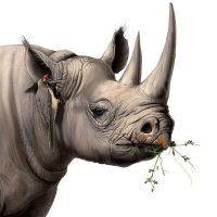 Black Rhino - detail by Elruu