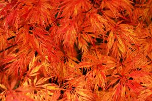 Acer Fire by EarthHart