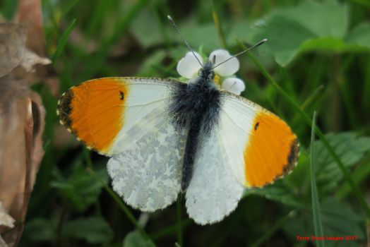 Orange Tip by Terrydunk