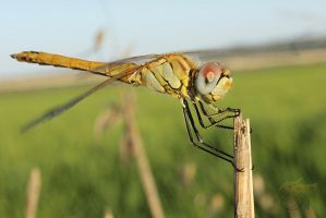 Smiling Dragonfly by SpiderTech
