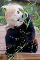 How to eat that bamboo? by Seb-Photos