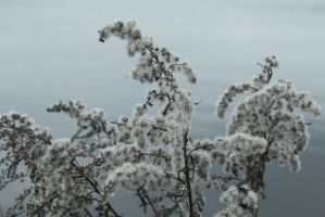 Goldenrod at seed in Winter by wetdryvac