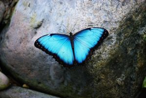 Blue Butterfly by Myzogirl