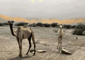 Young Camels of Eritrea by moonhare77