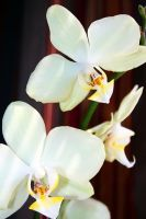 Orchids by WillaWalo