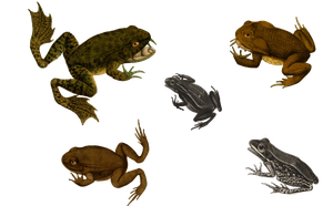 Frogs 5 PNG by chaseandlinda