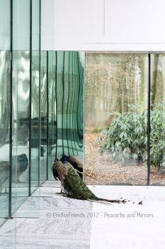 Peacocks and Mirrors by EricForFriends