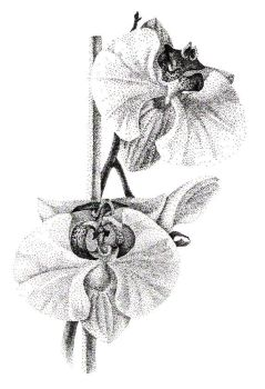 Orchids 3 by shamus