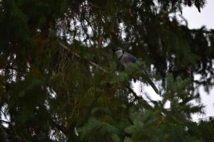 Blue Jay in the Pine by Gr8-Gatensby