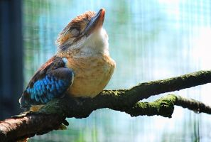 Blue Winged Kookaburra by bianco-c