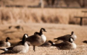 Geese by creynolds25
