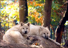Siesta of wolf pups by woxys