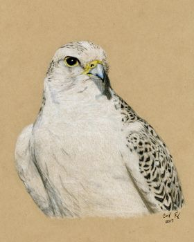 Gyrfalcon- Colored Pencil by lost-nomad07
