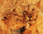 Lion Love by MLM47