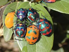 Jewelled Beetles by aussiemoodge