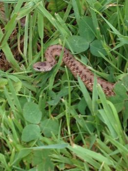 Snake in the Grass by Sabreleopard