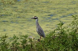 Heron by the edge of the pond by AquaVixie