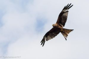 Red Kite by Hyperborean1987