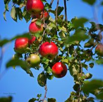 red apples---,. by burcyna