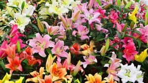 Chelsea Flower Show - Lily Close-Up by Okavanga