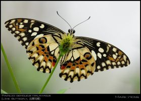BSP Butterflies 060708 III by log1t3ch