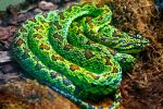 Coiled Green Snake by JKase911