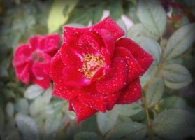 Dreamy Rosedrops by AngieMyst