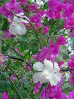 Hibiscus and Bougainvillea by joeyartist