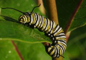 Monarch Caterpillar by barcon53