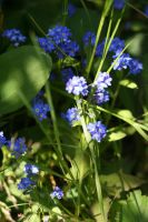 Shady forget-me-not by Seyreene