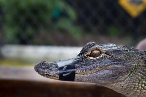 Infant Gator by FavsCo