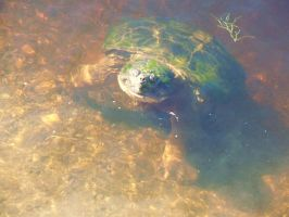 Snapping turtle . by BlackVeilBride