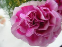 pretty easter carnation by BlueIvyViolet