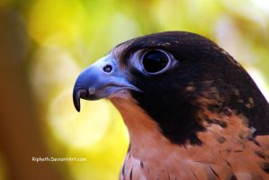 Falcon Beauty by Riphath