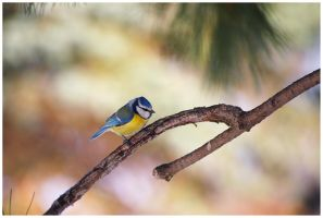 Another Blue Tit by jjuuhhaa