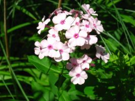 my phlox by crazygardener