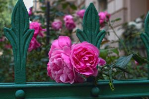 12-06 rose fence by evionn