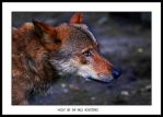 Spanish Wolf by Dr-Koesters