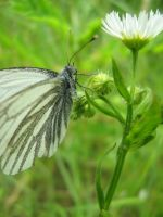 Cabbage white butterfly by Janinnka