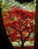 Framed Maple by gee231205