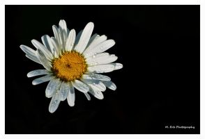 Raindrops On A Daisy by erbphotography