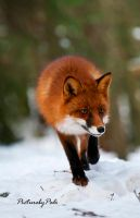 The Red Fox_2 by PictureByPali