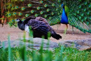 Peacock Courting by BloodoftheTitan1