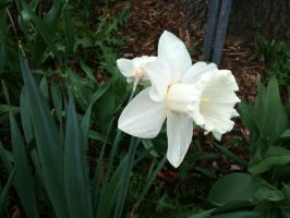 the white daffodil. by insomniana