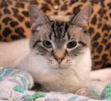Domestic Colorpoint Shorthair/Siamese Mix - Zeus by McrBlueOctober