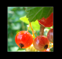 Red Currants by loezzy