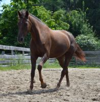 Liver chestnut morgan canter 3/4 view by equustock