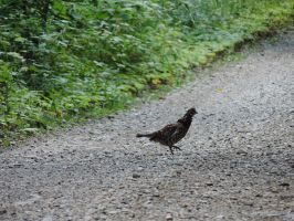 Why Did the Chicken Cross the Road by Aurora-ASB