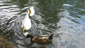 2 White Ducks and 1 unknown up close by Dan-S-T